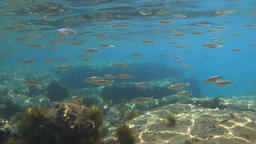 Different size fishes swimming around in shallow water Footage