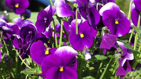 Group of three bright violet pansy (viola tricolor, Viola cornuta) Footage