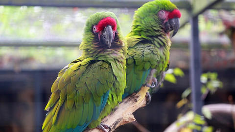Couple Of Military Macaw Footage
