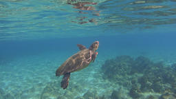 Underwater green sea turtle (Chelonia mydas) over rocky ground and breathing Footage