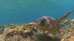 Underwater green sea turtle (Chelonia mydas) looking into camera Footage