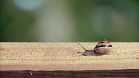 Medium Shot of a White Lipped Snail, Live Action