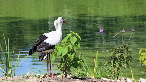 White Stork Couple Footage