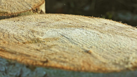Small Ant Running on Huge Pine Balk Footage