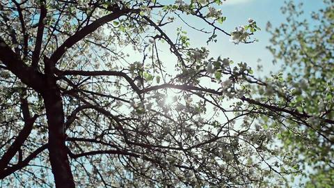 Blooming Apple Tree Footage