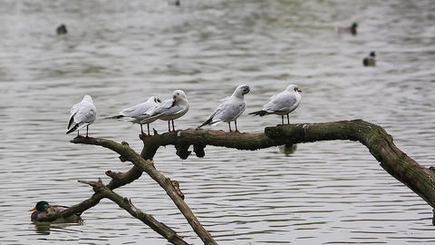 Four Gulls on a Tree Branch Footage