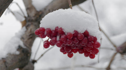 Bunch Of Red Viburnum Berries Covered With Snow Footage