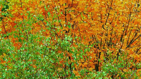 4K Autumn Tree / Autumn Forest / Autumn Leaves Footage