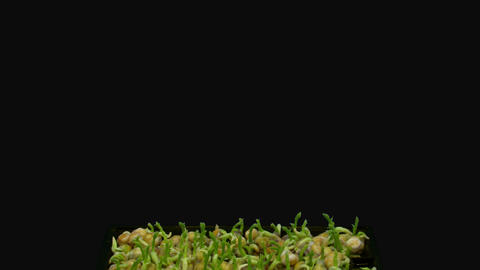 Time-lapse of germinating microgreens chickpea seeds with ALPHA channel Live Action