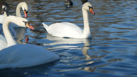 White swan on the lake in winter Live Action