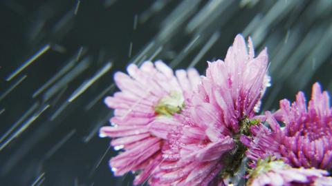 Purple Flowers Rotating in Heavy Rain Footage