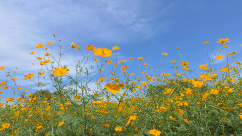 Flowers of Cosmos sulphureus,at Showa Kinen Park,Tokyo,Japan,Filmed in 4K Footage