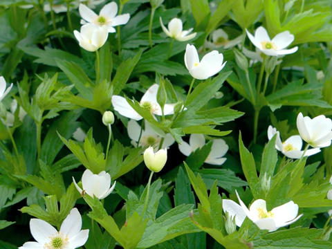 Small white flowers with a yellow center (Wood anemone Latin. Anemone nemorosa) Footage