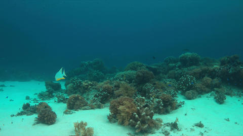 Sailfin Snapper on a coral reef Footage