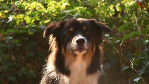 Dog Barking Close-up Footage