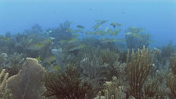 Yellowtail snapper in Caribbean sea Footage