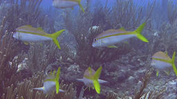 Yellowtail snapper in Caribbean sea Live Action