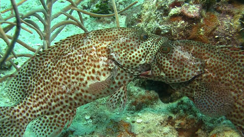 Fighting grouper in Caribbean sea Live Action