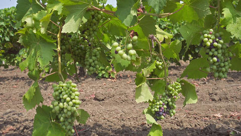 Bunch of grapes on a vine in the sunshine, 4k Footage