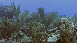 Reef and sea fan in Caribbean sea Live Action