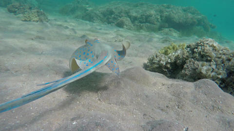 Blue Spotted stingray (Taeniura lymma), 4k Footage