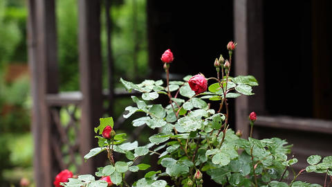 Red Rose on the Branch in the Garden Live Action