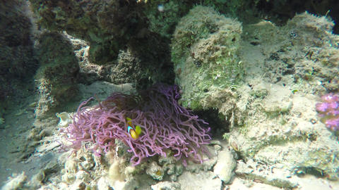 Clownfish shelters and anemone on coral reef Footage