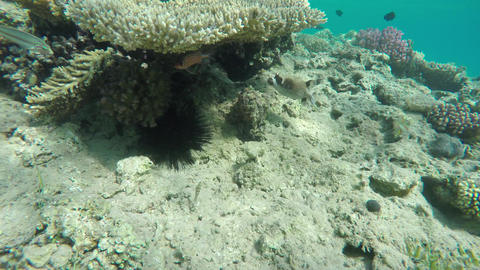 Black Spotted or Dog Faced Puffer fish in Red Sea Footage