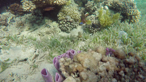 Purple tube sponges on a tropical coral reef, 4k Footage