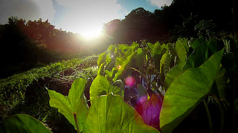 Tarot plantation in Hawaii Stock Video Footage