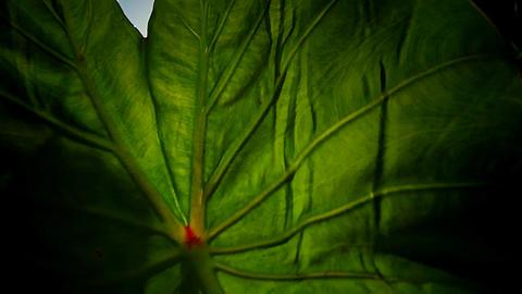 Tarot plantation in Hawaii Stock Video Footage