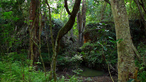 Pan across dense jungle rainforest Stock Video Footage