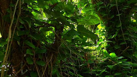 Slow moving shot through dense rainforest Stock Video Footage