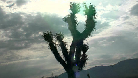 A yucca tree stands in front of the sun Stock Video Footage