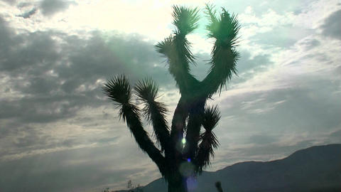 A yucca tree stands in front of the sun Footage