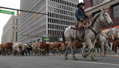 Man on a horse leading bulls through a city street Stock Video Footage
