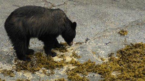 A black bear feeding on barnacles in the inner tid Stock Video Footage