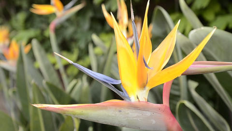 Panning shot of a bird of paradise flower in San D Stock Video Footage