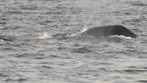 Humpback whales group feeding at Point Adolphus in Stock Video Footage