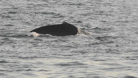 Humpback whales group feeding at Point Adolphus in Footage