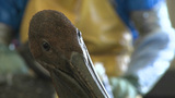 A Brown Pelican Is Covered In Tar And Oil After The BP Oil Disaster And Is Cleaned By Relief Workers stock footage