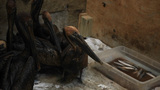 Pelicans Are Covered In Tar And Oil After The BP Oil Spill Disaster stock footage