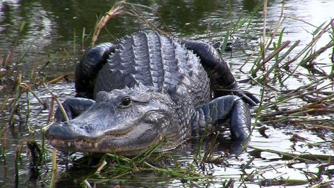 Alligators in the Everglades, Florida Stock Video Footage