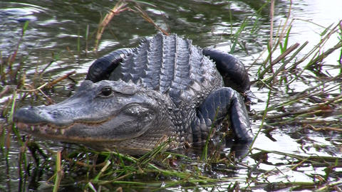 Alligators in the Everglades, Florida Footage
