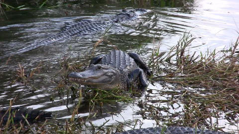 Alligators in the Everglades, Florida Stock Video Footage
