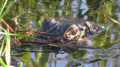 An alligator in the Everglades peers out from just Stock Video Footage