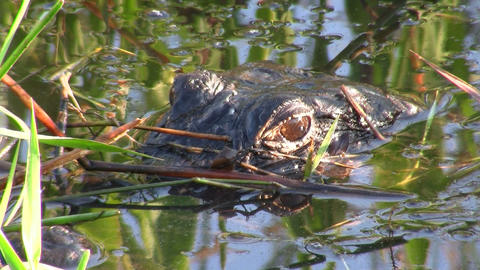 An alligator in the Everglades peers out from just Footage