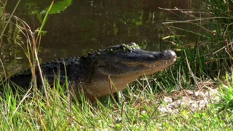 Alligators swimming in a swamp in the Everglades Stock Video Footage
