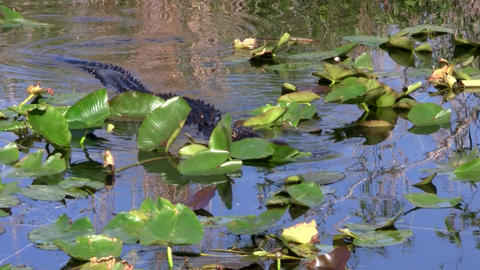 Alligators swims in a swamp in the Everglades Stock Video Footage