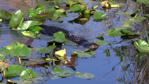 Alligators swims in a swamp in the Everglades Footage